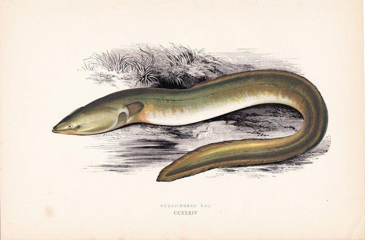 Sharp Nosed Eel, 1878