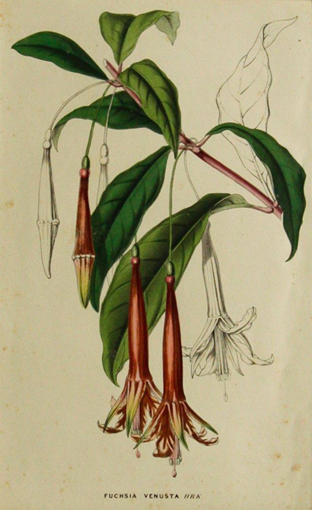 Pink Trumpet Botanical, C. 1860