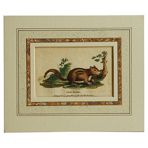 Varied Squirrel, 1798