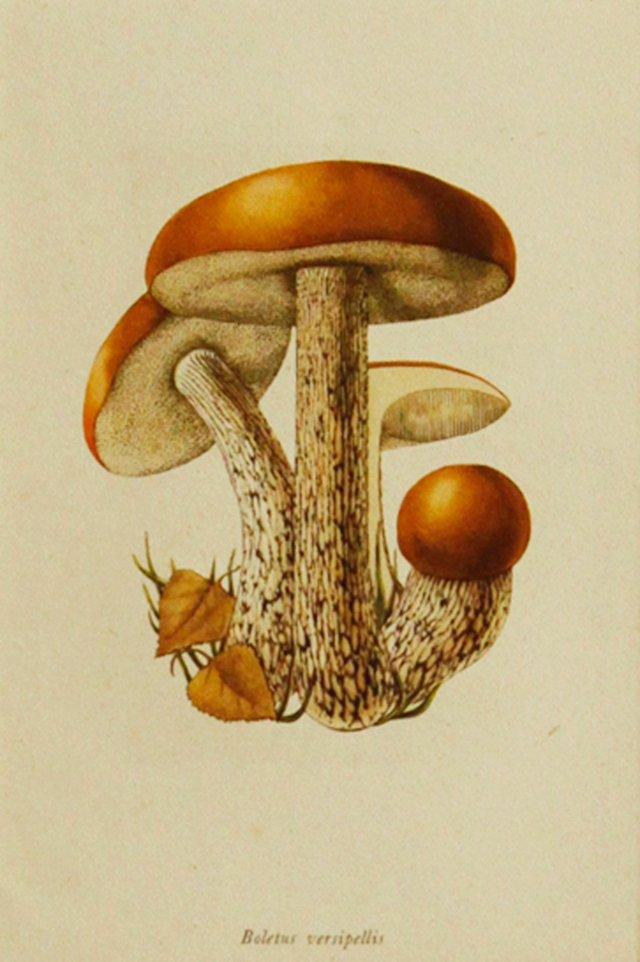 Orange Birch Mushroom, 1943