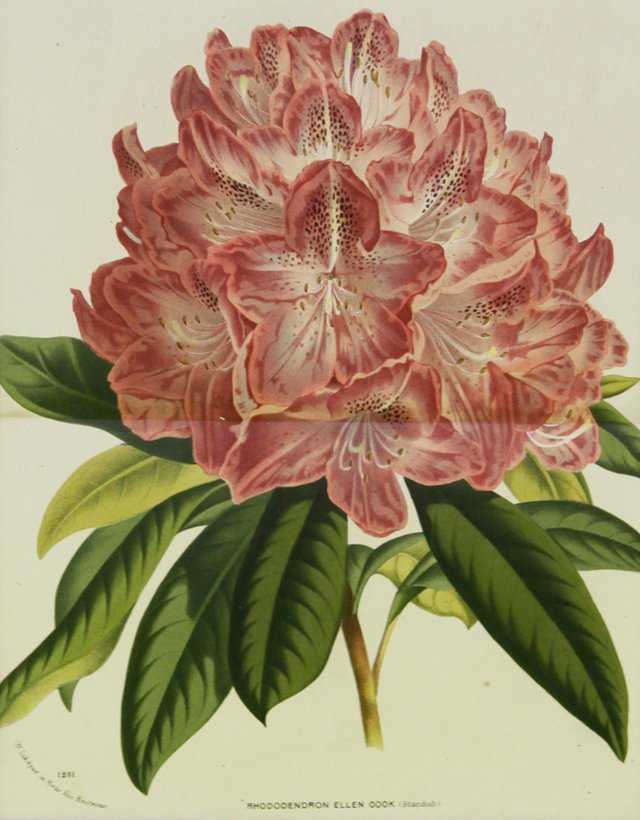 Ellen Cook Rhododendron, C. 1860