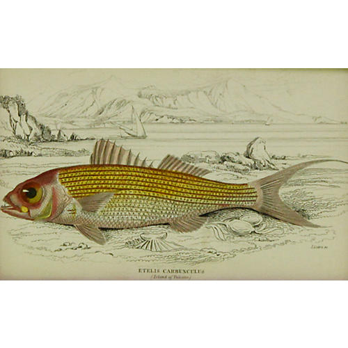 Red Snapper, 1843