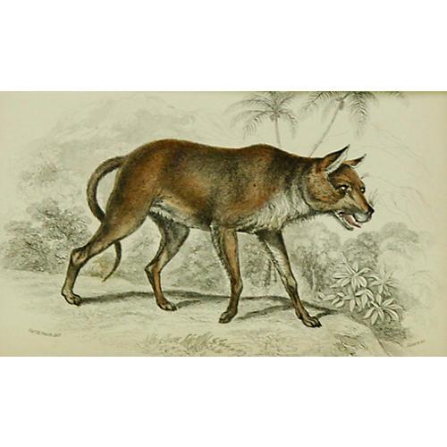 Asiatic Wild Dog, 1843