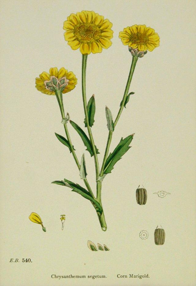Yellow Marigold Chrysanthemum, 1891