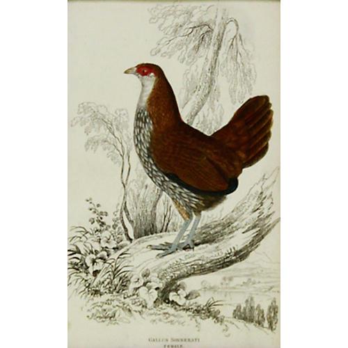 Gray Junglefowl, 1843