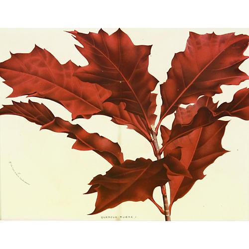 Northern Red Oak, C. 1860