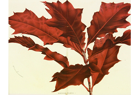 Northern Red Oak, C. 1860