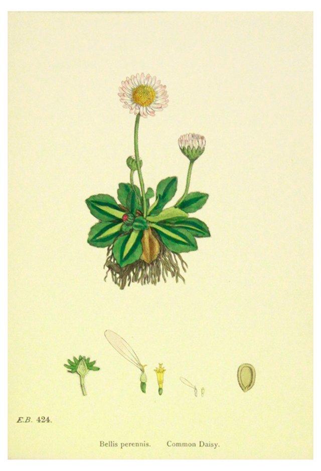 Common Daisy, C. 1880