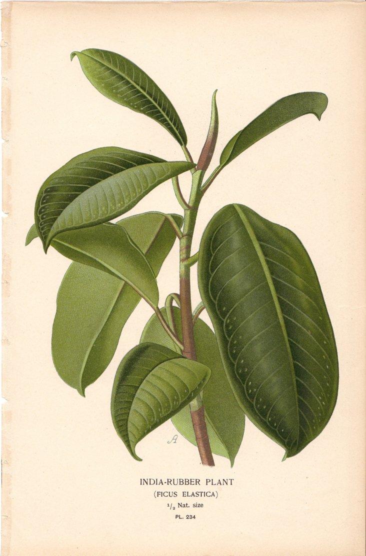 India Rubber Plant, 1896