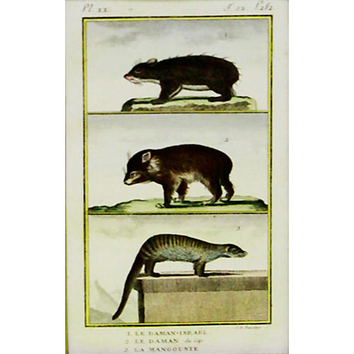 Hyrax and Mongoose, 1799