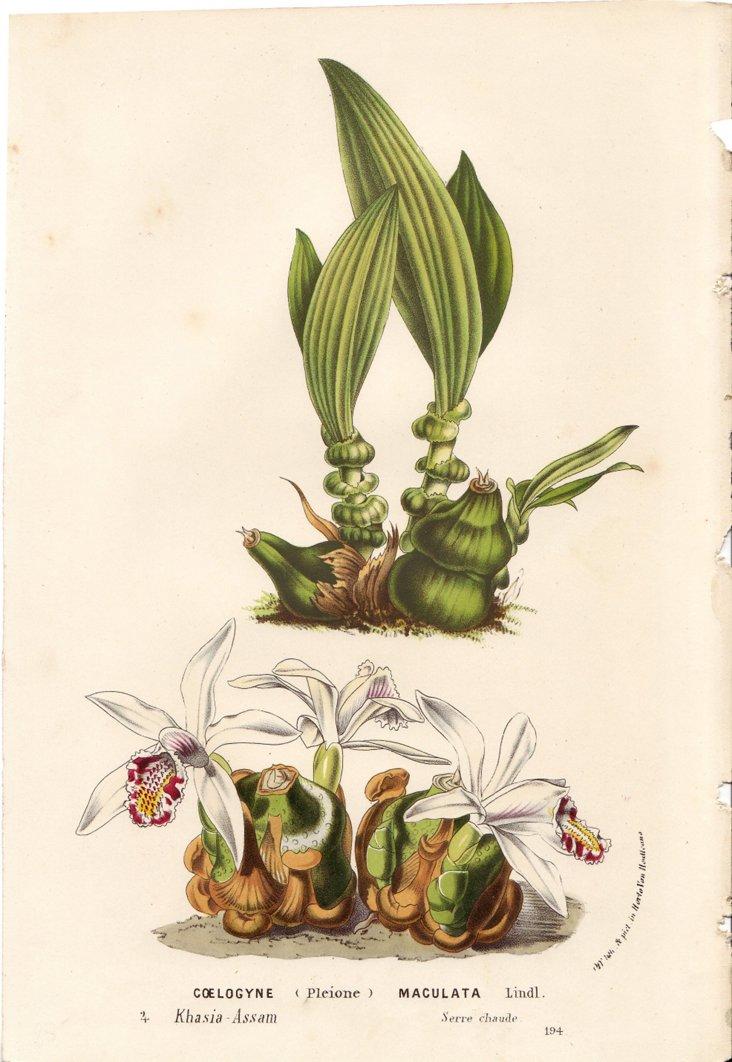 Orchids, C. 1860