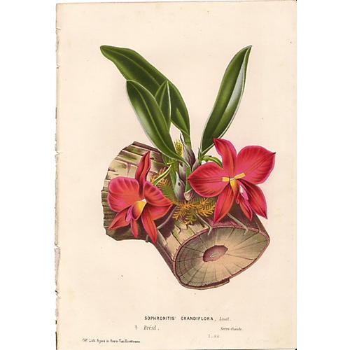 Scarlet Sophronitis, C. 1860