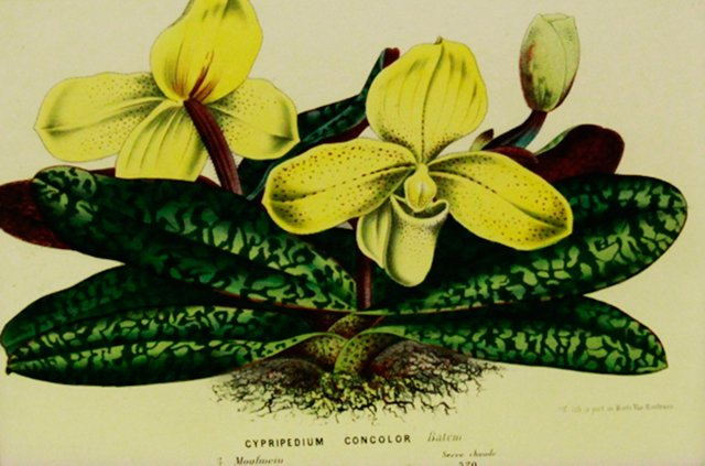 Yellow Orchid, C. 1860