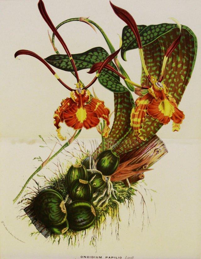Orange Orchid, C. 1860