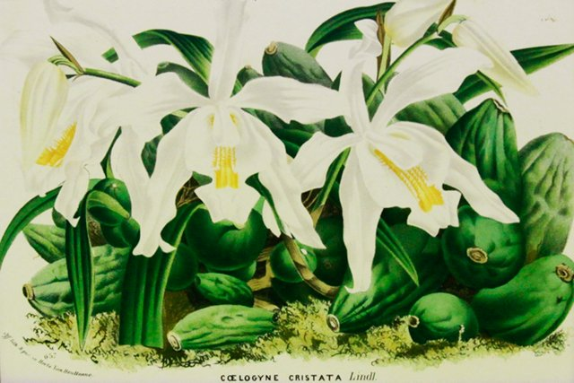 White Queen Orchids, C. 1860