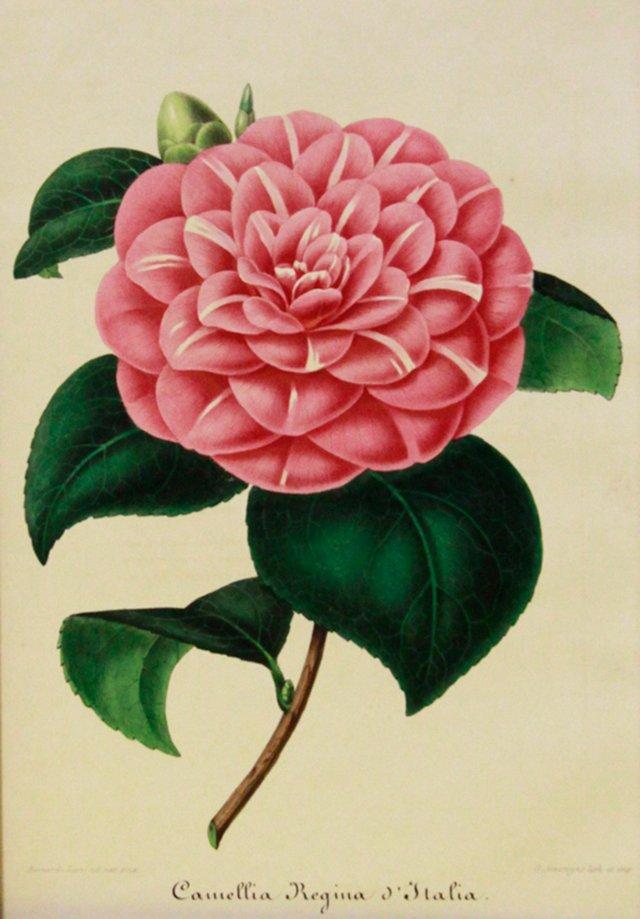 Regina Italian Camellia, 1854