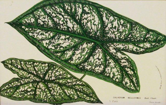 Green & White Caladium Leaves, C. 1860