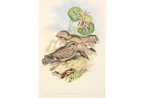 Gould's Nightjar, C. 1850