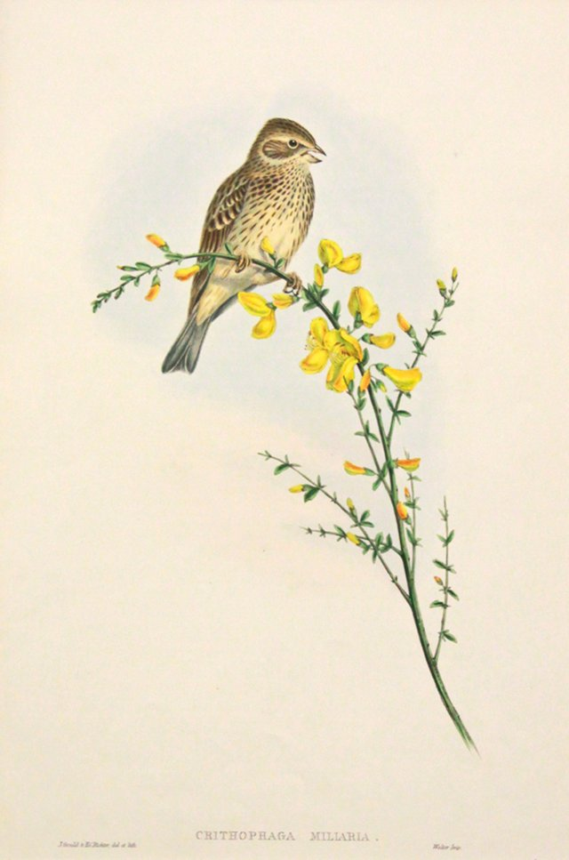 Gould's Common Bunting, C. 1860