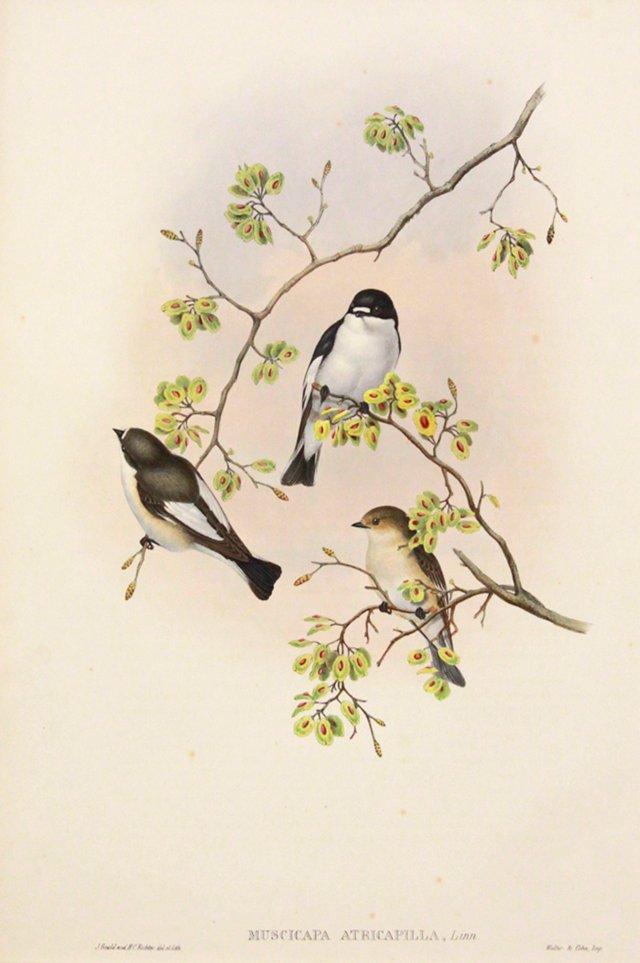 Gould's Flycatcher, C. 1860