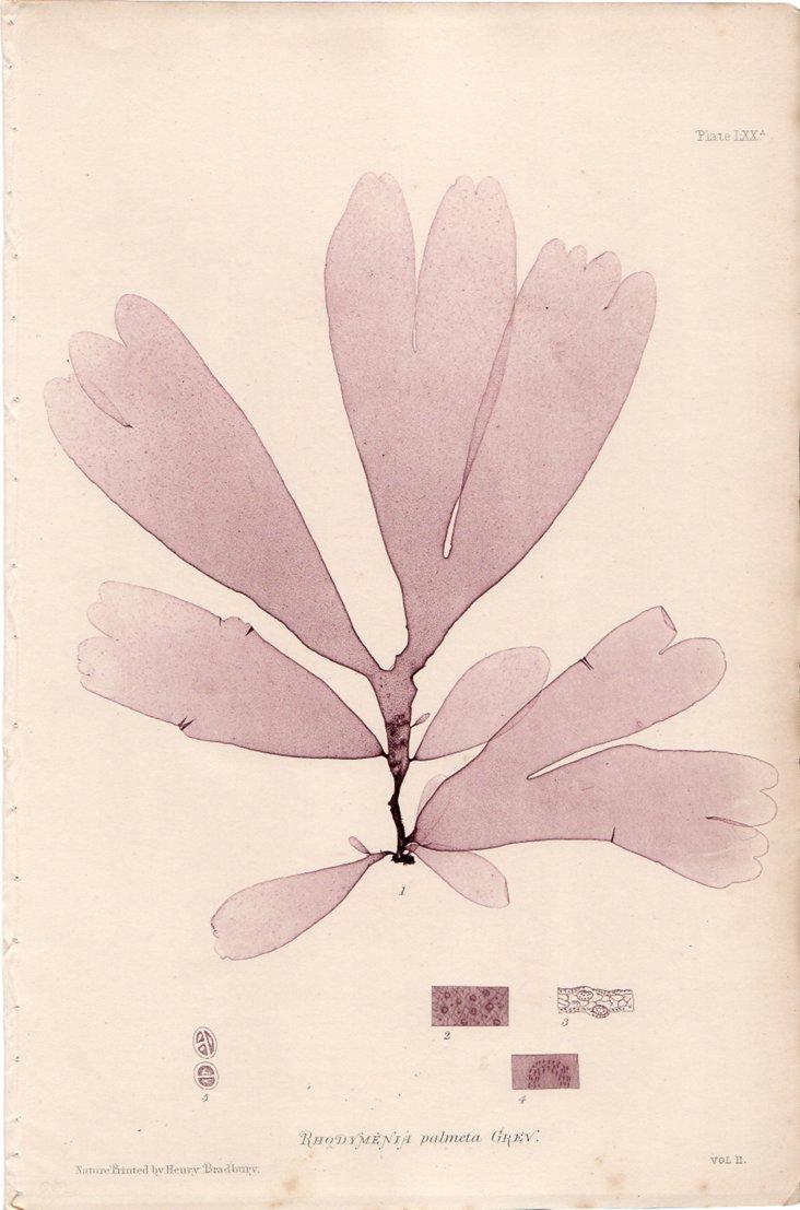 Lavender Seaweed, C. 1860