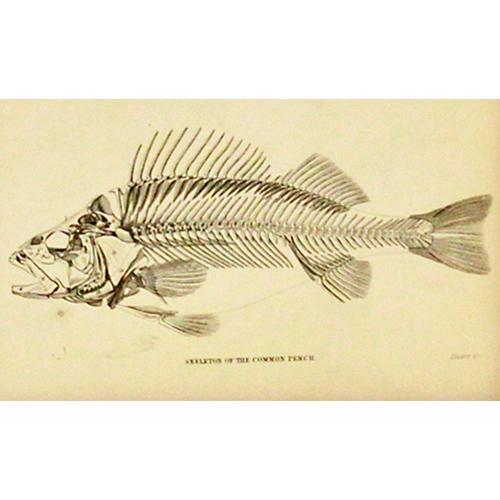 Perch Skeleton, 1843