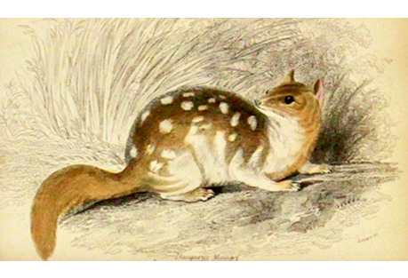 Small Mammal, 1843