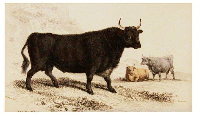 British Kyloe, 1843