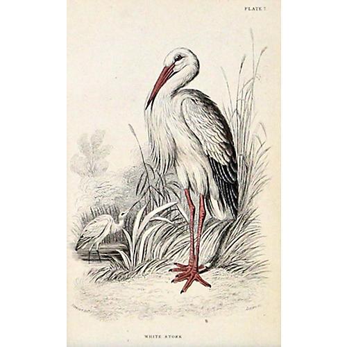 Stork, 1843