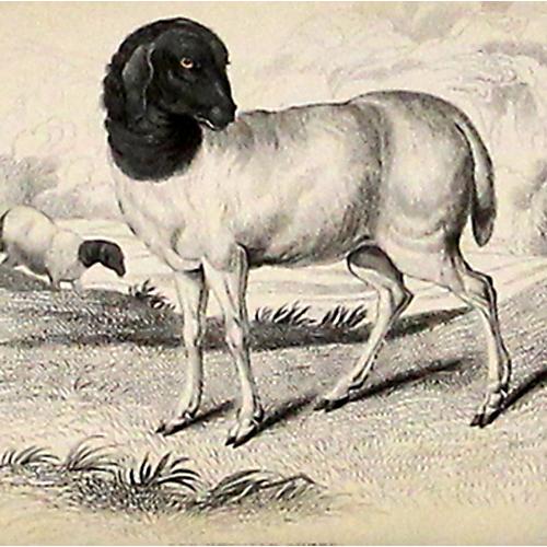 Persian Sheep, 1843