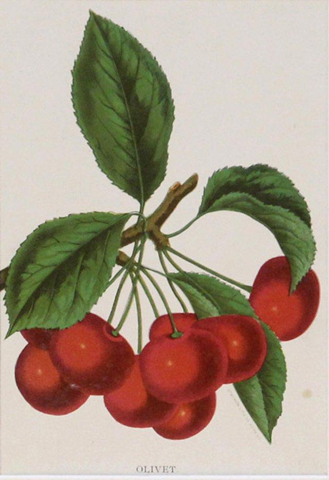 Olivet Cherries, 1910