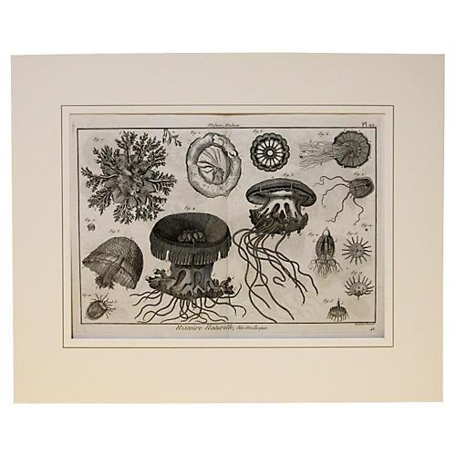 Jellyfish, C. 1790