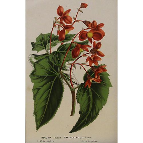 Orange Begonias, C. 1860