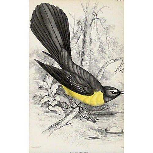 Black Fan Tail, C. 1840
