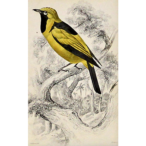 Yellow Songbird, C. 1840