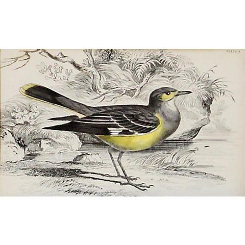 Mocking Water-Chat, C. 1840