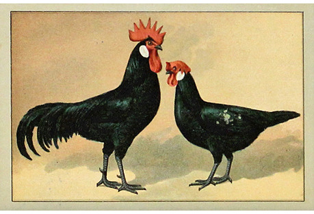 Black, Red & White Chickens, 1897