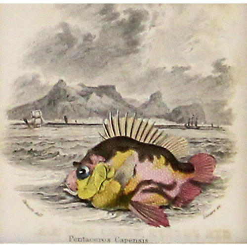 Cape Armourhead Fish, C. 1840
