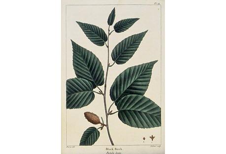 Black Birch, 1842