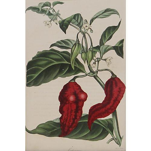 Red Pepper, 1838