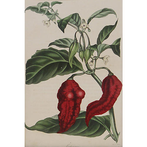 Red Pepper, 1838