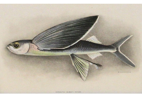 Flying Fish, 1903