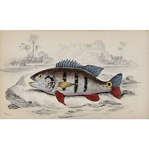 Multicolored Cychla Fish, 1843