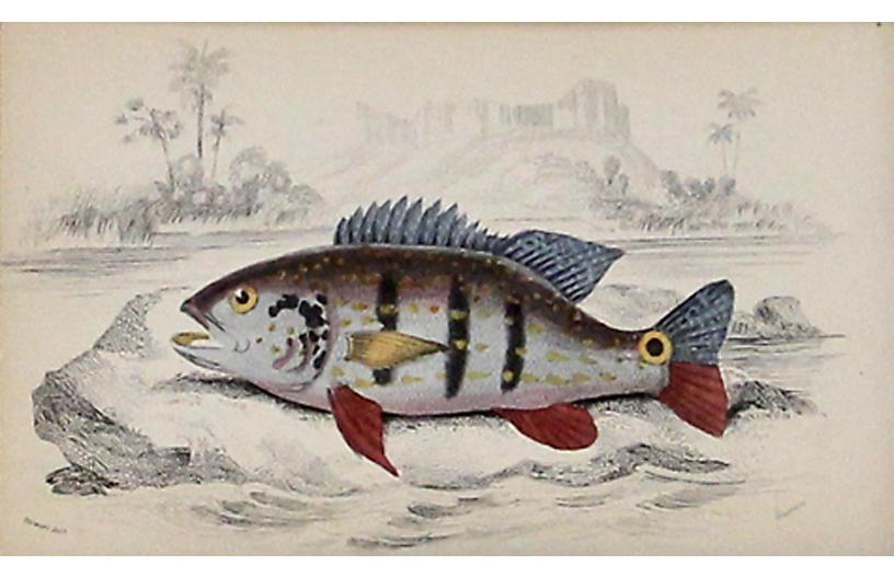 Multicolored Cychla Fish, 1843