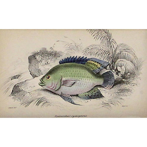 Green Fish w/ Blue Fins, 1843