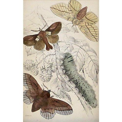 Moths w/ Green Caterpillar, 1843