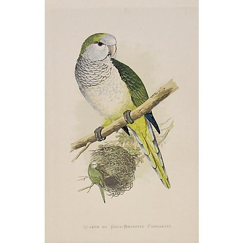 Grey-Breasted Parrakeet, C. 1880