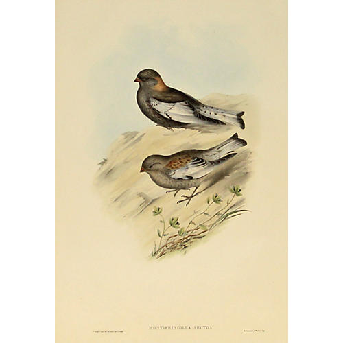 Northern Mountain Finch, C. 1850