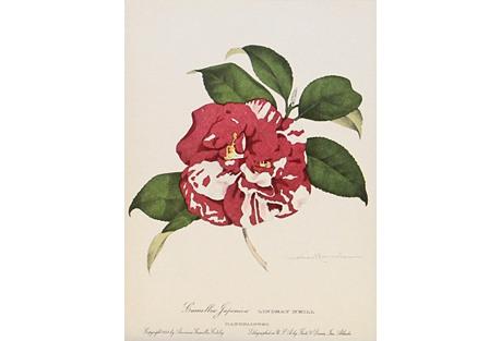 Lindsay Neill Camellia, C. 1950