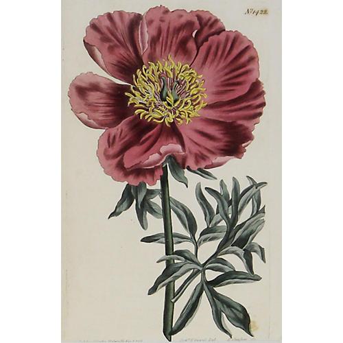 Peony, 1811